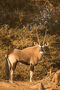 Gemsbok, Skeleton Coast, Northern Namibia, Southern Africa