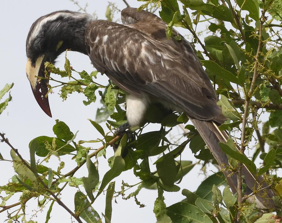 Female African grey hornbill (Lophoceros nasutus). Serengeti National Park, Tanzania.