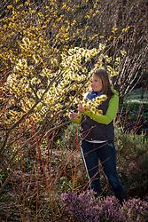 Cutting stems of Hamamelis x intermedia Pallida AGM - Witch hazel - to make a flower arrangement.