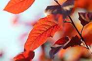Backlit red tree leaves. WATERMARKS WILL NOT APPEAR ON PRINTS OR LICENSED IMAGES.
