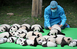 CHENGDU, CHINA - SEPTEMBER 29: ..23 giant panda cubs make their debut to the public at Chengdu Research Base of Giant Panda Breeding on September 23, 2016 in Chengdu, Sichuan Province of China. All the 23 panda cubs were born in the base this year..¬©Exclusivepix Media (Credit Image: © Exclusivepix media via ZUMA Press)