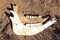 Jaw Bones Of Deer