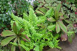 Polypodium cambricum 'Prestonii'  with Rodgersia pinnata 'Superba'