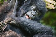 Two mountain gorillas (Gorilla beringei beringei) playing in the forest, Parc de Volcanos, Rwanda, Africa