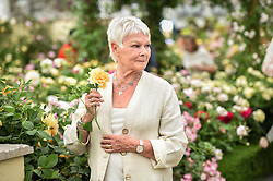 Judi Dench has a rose named after her in the Dave Austin Stand at the RHS Chelsea Flower Show at the Royal Hospital Chelsea, London. Picture date: Monday May 22nd, 2017. Picture credit should read: Matt Crossick/Empics