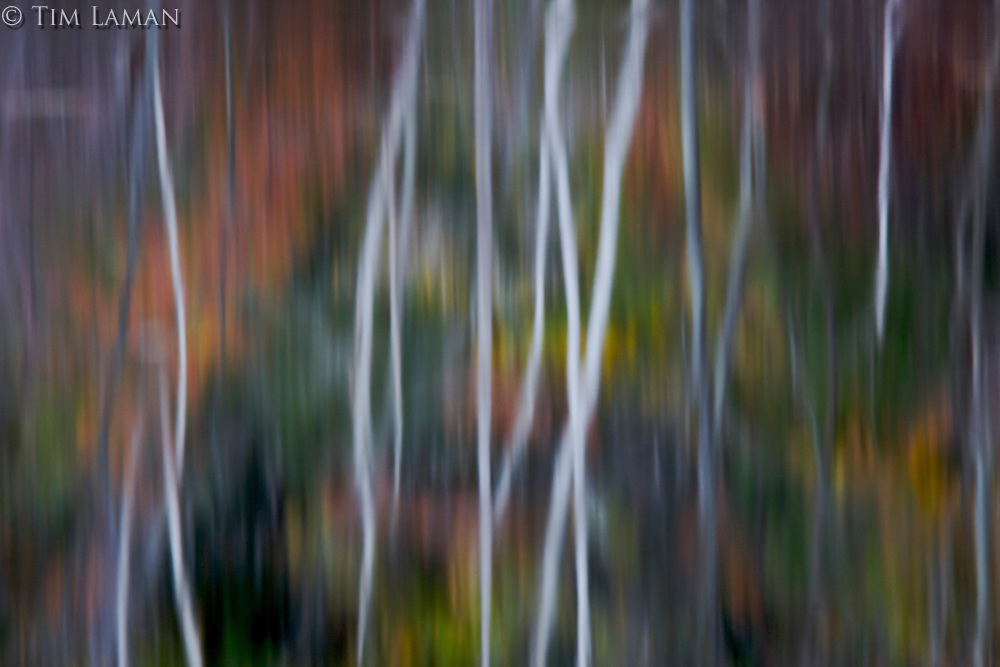 """""""Birch Reflections"""".Birch trunks and fall colors reflect in flooded Heywood Meadow at Walden Pond."""