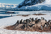 Colony of gentoo penguins (Pygoscelis papua) overlooking Neko Harbour in Andvord Bay, Antarctica. The expedition ship Polar Pioneer lies in the background.
