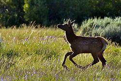 Running Elk Calf, Grand Teton National Park