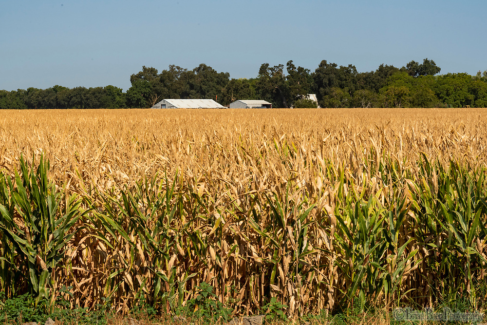 Corn on Highway 45 north of Knights Landing, Wednesday, August 25, 2021.<br /> Photo Andrew Innerarity