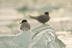 Arctic tern (Sterna paradisaea) in Spitsbergen, Svalbard