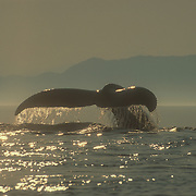 Humpback whale (Megaptera novaeanglia) sounding, Stephen's Passage, Southeast Alaska, USA.