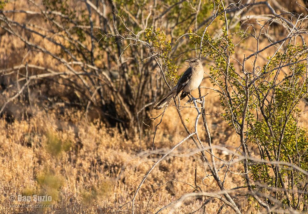 Northern Mockingbird, Mimus polyglottos, in the Phoenix Mountains Preserve near Phoenix, Arizona