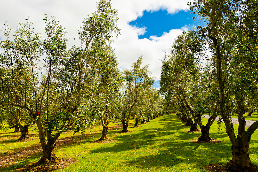Olive groves, Olivo Olive Oil, Martinborough, South Wairapa region, North Island, New Zealand