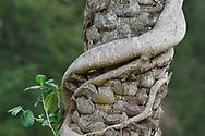 Fig tree, Ficus benjamina, climbing on a palm tree, Eluanbi park, Kenting National Park, Taiwan