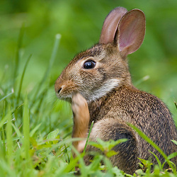 A young Eastern cottontail rabbit, Sylvilagus floridanus,  in a backyard in Portsmouth, NH.