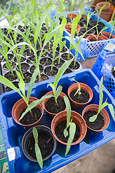 Sweetcorn seedlings in pots in green house,