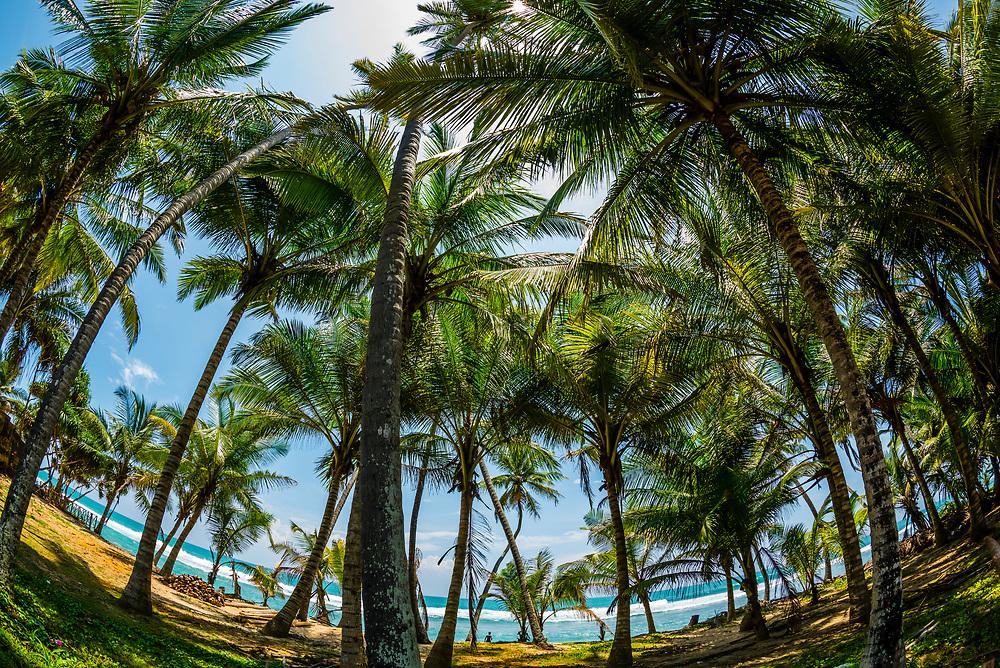 Palm trees, Akurala Beach, south coast of Sri Lanka.