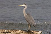 Grey Heron, Ardea cinerea, Stodmarsh National Nature Reserve, United Kingdom, adult, open water