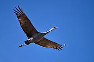 Sandhill Crane, Grus canadensis, Monte Vista National Wildlife Sanctuary.