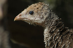 Profile of a female turkey