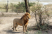 Mature male lion in East African habitat