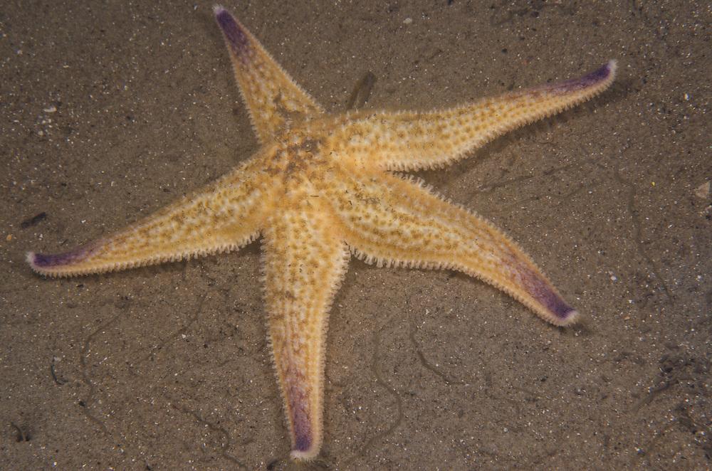 Pacific Seastar, Asterias amurensis