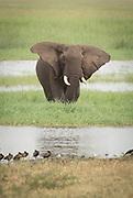 Nature photograph of a single African elephant (Loxodonta africana) in Tarangire National Park, Tanzania