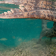 Thick tail of an American crocodile (Crocodylus acutus) in Jardines de la Reina, Gardens of the Queen National Park, Cuba.