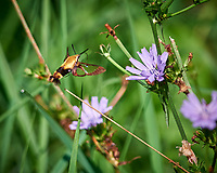 Snowberry Clearwing moth (Hemaris diffinis) feeding on a Chicory flower. Image taken with a Nikon D810a camera and 300 mm f/4 lens