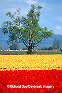 67221-008.03 Lone tree and red & yellow tulips in field  Skagit Valley  WA