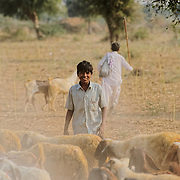 Sheperd and sheep at the Bishnoi region