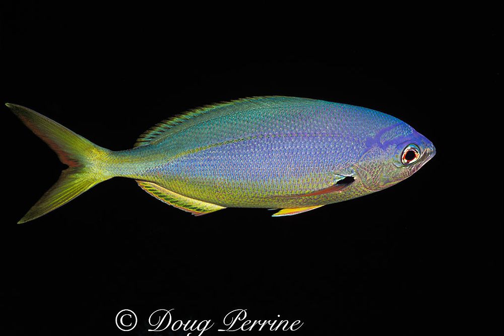 yellowback fusilier, or yellow and blueback fusilier, or yellow-tail fusilier, Caesio teres, with nighttime coloration, Helen Reef, Palau, Micronesia ( Western Pacific Ocean )