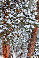 Snow fills the boughs of ponderosa pine trees at Flathead Lake State Park, Montana, USA