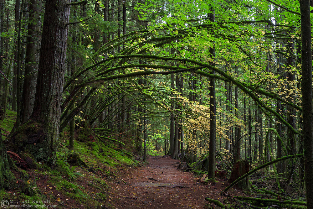 Vine Maples with fall foliage hang over the Rolley Lake Trail in Rolley Lake Provincial Park, British Columbia, Canada