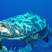 Goliath Grouper often around clusters of large coral growths and artifical reefs, occasionally hide in dark recesses in Tropical West Atlantic; picture taken Belize.