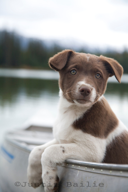 Portrait of young puppy in canoe.