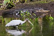 Alligator, wood stork endangered species at Big Cypress Bend, Fakahatchee Strand, the Everglades, Florida, USA