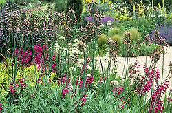 The gravel garden with Nectaroscordum siculum and Gladiolus byzantinus