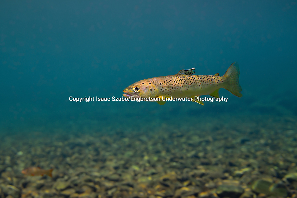 Brown Trout (Juvenile)<br />