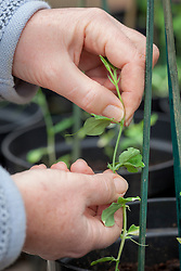 Pinching out the growing tips of sweet pea seedlings to promote bushy growth. Lathyrus odoratus
