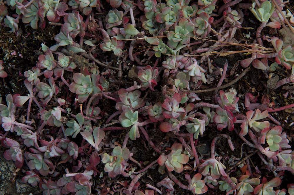 Wildflowers, Gossip Island, San Juan Islands, Washington, US