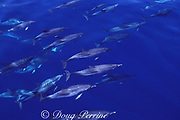 Atlantic spotted dolphins, Stenella frontalis, swimming at the surface of the deep ocean, Azores Islands, Portugal ( North Atlantic Ocean )