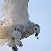 Snowy Owl (Bubo scandiacus) in flight bringing a bird to a chick. Barrow, Alaska