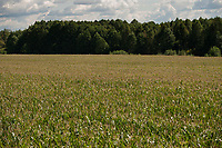 08.2014 gmina Grodek woj podlaskie N/z pole kukurydzy miedzy lasami fot Michal Kosc / AGENCJA WSCHOD