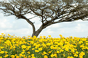 A blazing yellow field of Glebionis coronaria, (formerly Chrysanthemum coronarium) of the daisy family. Photographed in the Negev Desert, Israel in March