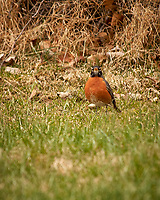 American Robin. Image taken with a Nikon D2xs camera and 80-400 mm VR telephoto zoom lens.