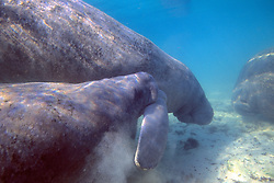 Manatees /  Mouthing Flipper