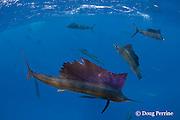 Atlantic sailfish, Istiophorus albicans, feeding on sardines that they have broken off from baitball (in background), Yucatan Peninsula, Mexico ( Caribbean Sea )