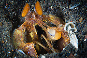 Orange mantis shrimp(Lysiosquilloides mapia)  in its burrow in volcanic sand, Volcano crater, Witu Islands