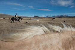 """Stephen Becklund and his dogs, Max and Ellie, herd cattle at the J Bar L ranch on a sunny November day in the Centennial Valley of southern Montana. The J Bar L ranch finish their cattle on grass, in contrast to the vast majority of ranches in the U.S. that send cattle to feedlots. The 2,000 head at J Bar L """"never go into a feedlot,"""" said Bryan Ulring, manager of the ranch. He added that the J Bar L is one of the biggest grass finishers in the state. The Centennial Valley is an important wildlife corridor for elk, moose, antelope, deer, wolverines, grizzly bears, wolves and hundreds of bird species. The valley is largely owned by a handful of large ranches, which means their use of the land impacts the local environment. © Ami Vitale"""